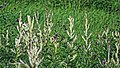 Creeping thistle 'Cirsium arvense' chlorosis, in Hatfield Broad Oak, Essex, England 4.jpg