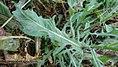 Crepis setosa leaf (22).jpg