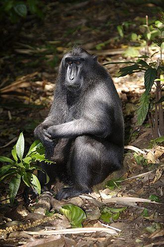 Macaque - Image: Crested Black Macaque (Macaca nigra)
