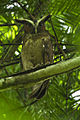 Crested Owl - Sarapiqui - Costa Rica S4E1124 (26404347190).jpg