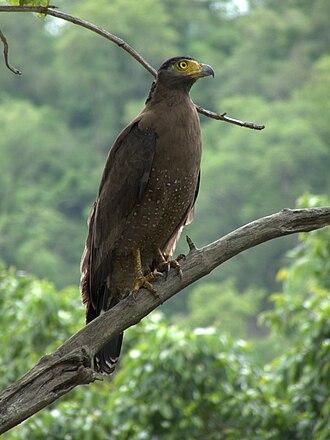 Crested serpent eagle - Subspecies melanotis (Anamalai Tiger Reserve, Tamil Nadu)