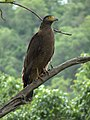 Crested Serpent Eagle-Spilornis cheela.jpg
