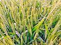Crip of wheat.jpg