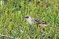 Croaking cisticola (Cisticola natalensis).jpg