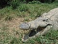 Crocodile of Croc'Farm.JPG
