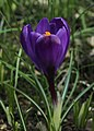 Crocus Flower Record.jpg