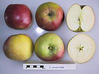 Cross section of Dredge's Fame, National Fruit Collection (acc. 1939-013).jpg