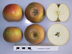 Cross section of Egremont Russet (EMLA 1), National Fruit Collection (acc. 1979-159).jpg