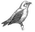 Crossbill (PSF).png