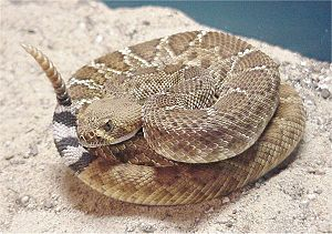 Red diamond rattlesnake Facts for Kids | KidzSearch com