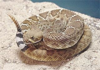 <i>Crotalus ruber</i> species of North American snake