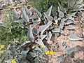 Cucurbita foetidissima (Buffalo Gourd) O0G292G8.jpg