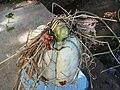 Cucurbita maxima Zapallo Plomo semillería Florensa - (PV02) 2015-01-29 zapallo día 19 exorcismo 03.jpg