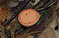 Cup Fungus (Cookeina sulcipes) (8678160637).jpg