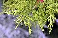 Cupressus macrocarpa Goldcrest 2zz.jpg