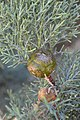 Cupressus nevadensis Hobo Ridge Grove (48) - Flickr - theforestprimeval.jpg