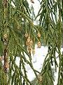 Cupressus nootkatensis 43615.jpg