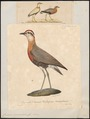 Cursorius coromandelicus - 1700-1880 - Print - Iconographia Zoologica - Special Collections University of Amsterdam - UBA01 IZ17200307.tif