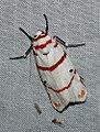 Cyana perornata (Eribidae- Arctiinae- Lithosiini) (3517341454).jpg