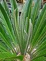 Cycas revoluta 011.jpg