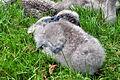 Cygnus olor (Küken2) - Arboretum 2011-07-15 17-38-12.JPG