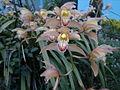 Cymbidium orchid flowers.jpg