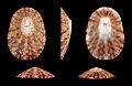 Cymbula miniata miniata 01.JPG