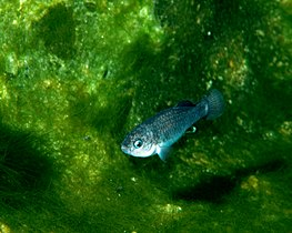 Cyprinodon diabolis on algae mat.jpg