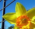 Daffodil (5523294385).jpg