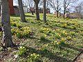 Daffodils on Holt Hill, Tranmere (2).JPG