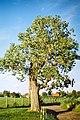 Daniel Fuchs.CC-BY-SA.Populus.Hybrid Poplar.jpg