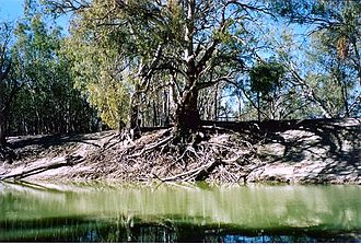 Pooncarie - Darling River at Pooncarie, river height 1.5 metres