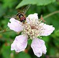 Dasysyrphus tricinctus. Syrphidae. - Flickr - gailhampshire.jpg