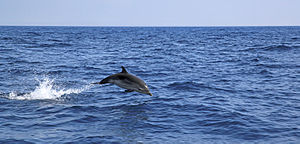 Striped dolphin - A striped dolphin leaps in the Iroise Sea