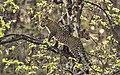 David Raju Leopard 3457 (cropped).jpg