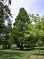Dawn Redwood (Metasequoia glyptostroboides) - geograph.org.uk - 816914.jpg