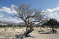 Dead pine, Elafonisi, Pelekanos, Chania, Crete, Greece - panoramio.jpg