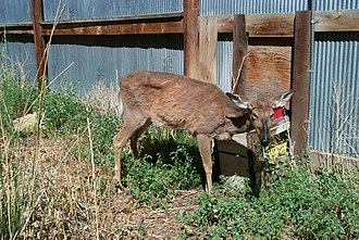 Chronic wasting disease - This deer visibly shows signs of chronic wasting disease.