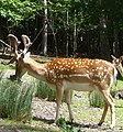 Deer at dinner time - panoramio.jpg