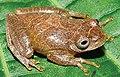 Dendropsophus minutus IRDias2014 (cropped).jpg