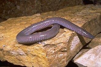 Caecilian - Dermophis mexicanus
