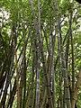 Des bambous au jardin de Pamplemousses (mars 2020).jpg