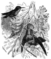 Descent of Man - Burt 1874 - Fig 48.png