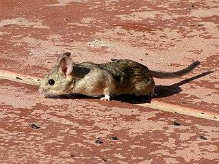Desert woodrat species of mammal