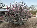 Desert Rose (Adenium obesum), Ghana.jpg