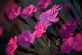 Dianthus-burning-witch-macro-flower-spring - West Virginia - ForestWander.jpg