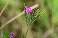 Dianthus armeria 02.jpg