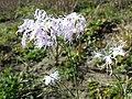 Dianthus superbus subsp. superbus sl21.jpg