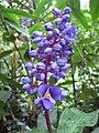 Dichorisandra thyrsiflora, RBGE 2009.jpg