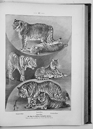 Siberian Tiger Introduction Project - Caspian tiger (up), Bengal tiger (left), Sumatran tiger (right), Siberian tiger (down).